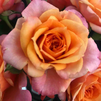 Rose, 'Orange Jewel'
