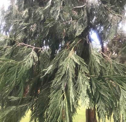 Calocedrus decurrens, 'aureo variegata'