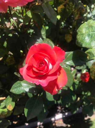 Rose, Smokin' Hot™, Hybrid Tea,  Rosaceae