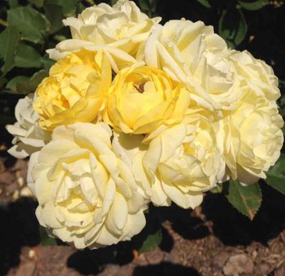 Rose, Comtesse du Barry, Rosaceae