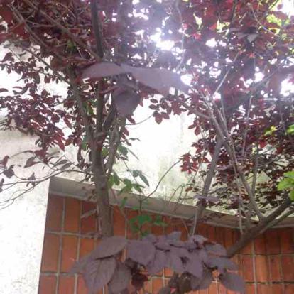 Prunus cerasifera 'Atropurpurea'