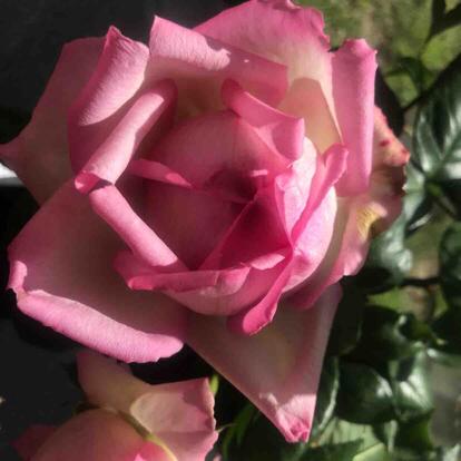 Rose, 'Honore de Balzac', Rosaceae