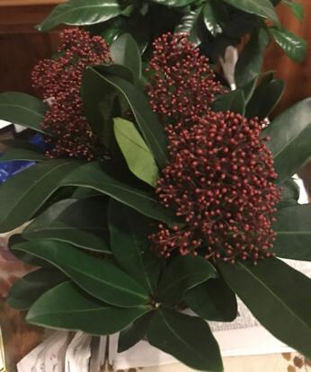 Ficus elástica, Flower bouquet