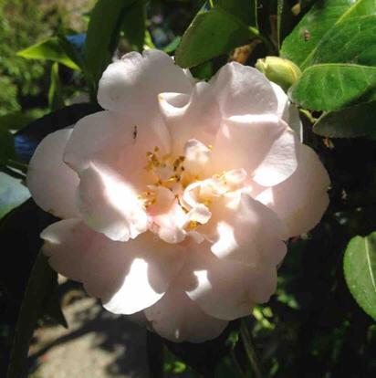 Japanese camellia, 'Marjorie magnificent'