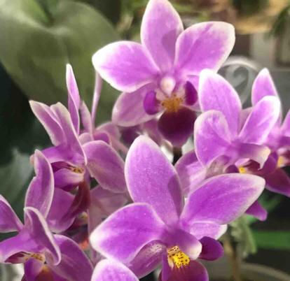 Phalaenopsis equestris, Orchidaceae