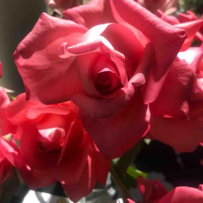 Rose, 'Santa Fe'