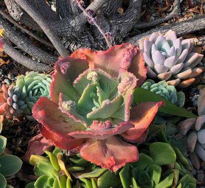 Echeveria gibbiflora, 'Carunculata'