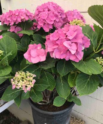 Hydrangea paniculata, Hydrangeaceae