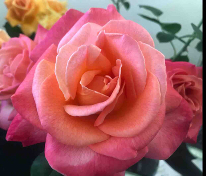Rose, 'Chicago Peace', Rosaceae