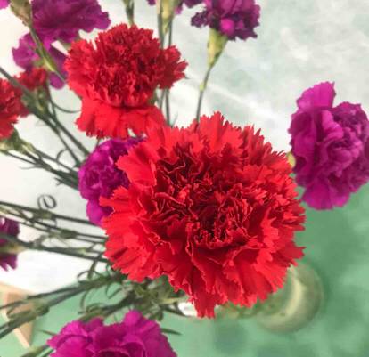 Peony, Magenta, Pink family, Dianthus