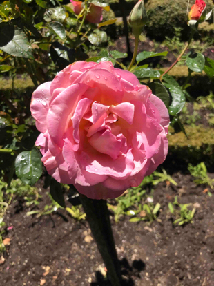 Rose 'Elle', Rosaceae