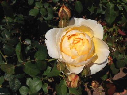 Rose, Elle, Rosaceae