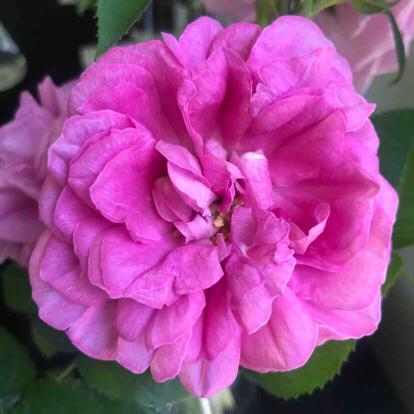 Rose, 'Baronne Prevost', Rosaceae