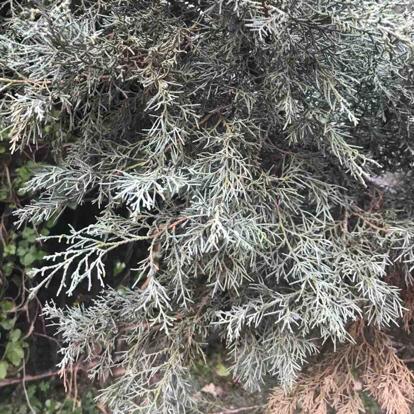 Juniperus chinensis, var. Pfitzeriana