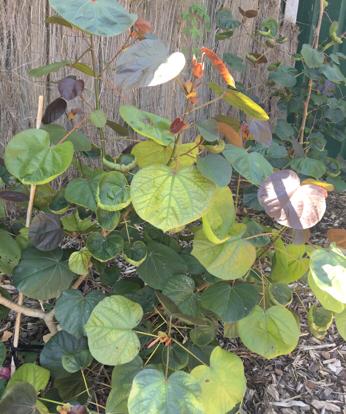 Hibiscus tiliaceus, 'red cottonwood'