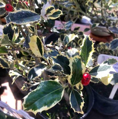 """Ilex aquifolium, """"variegata"""""""