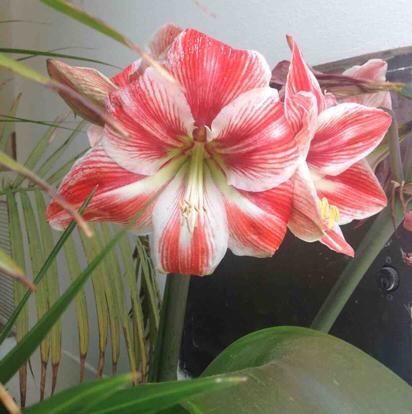 Hippeastrum, Amaryllis belladonna, Amaryllis family, Lily