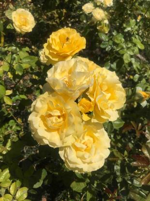 Rose, 'Doris Day', Floribunda, Rosaceae
