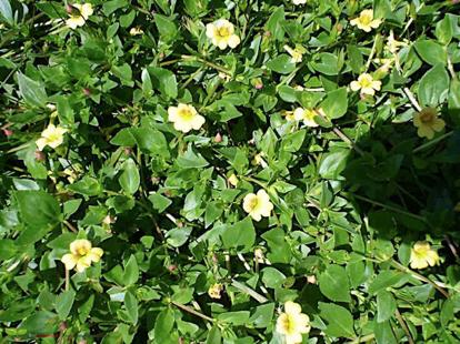 Mercadonia procumbens, 'var. flagellaris'