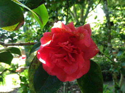 Japanese camellia, 'Manana'