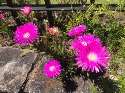 Mesembryanthemum roseum