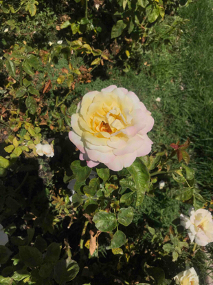 Rose, hybrid tea, 'Peace rose', Rosaceae