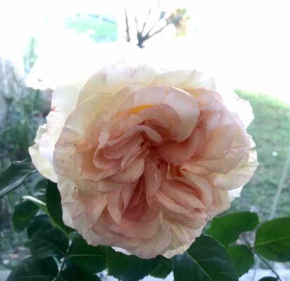 Rose, Alphonse Daudet, Rosaceae
