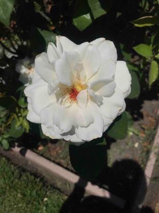 Rose, hybrid tea, 'Sugar Moon', Rosaceae