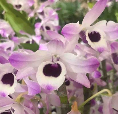 Dendrobium nobile, Orchidaceae