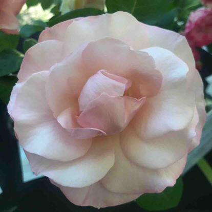 Rose, 'Queen Elizabeth', Rosaceae