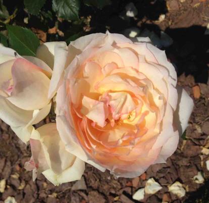 Rose, 'Tchaikovsky', Rosaceae