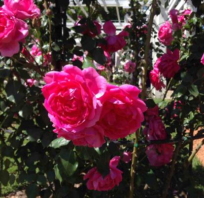 Rose, Parade, Rosaceae