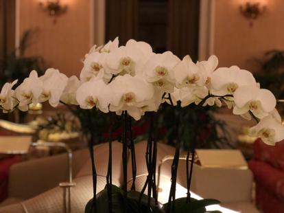 Phalaenopsis, orchid