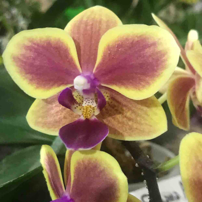 Phalaenopsis piękny, Orchidaceae