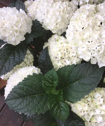 Hydrangea, Hydrangeaceae, Cornales, Viburnum