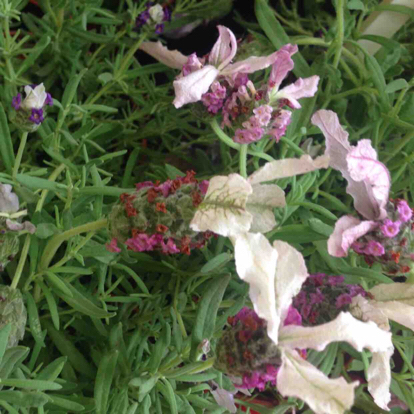 French lavender, Common sage, Lavender, Nepeta, Pink family