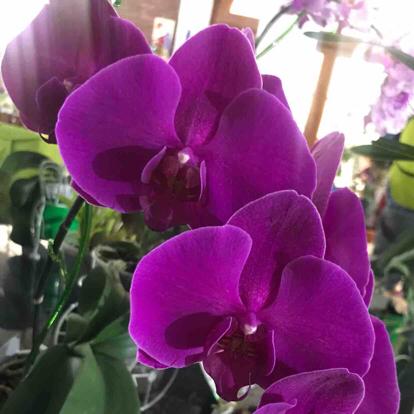 Phalaenopsis, Orchidaceae