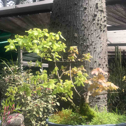 Mora formosana, Bonsai