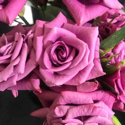 Rose, 'Lavande', Rosaceae