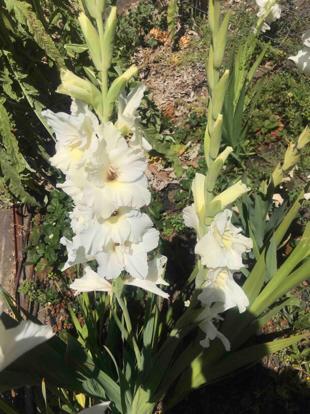 Gladiolus, Iris family, Terrestrial plant, Iris