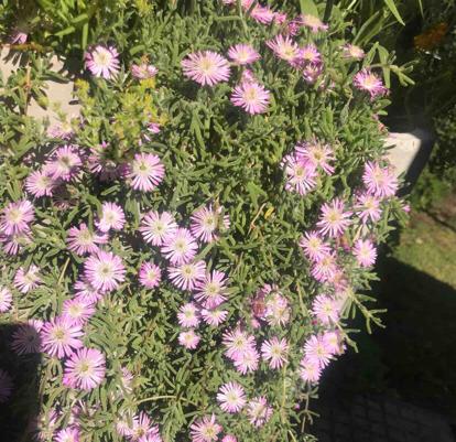 Mesembryanthemum floribundum