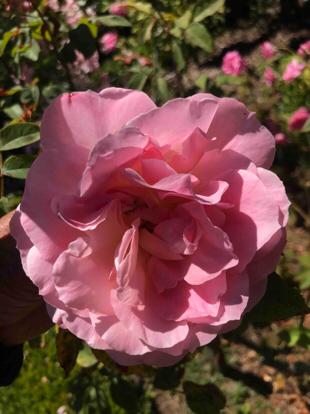 Rose 'Heritage', Rosaceae