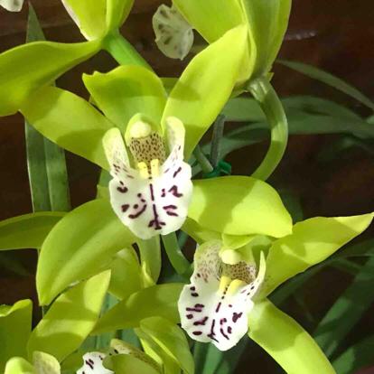 Cymbidium, Orchidaceae