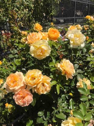 Rose floribunda,  'Eureka', Rosaceae