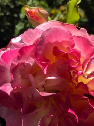 Rose, 'Double Delight', Rosaceae