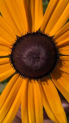 Sunflower, Daisy family