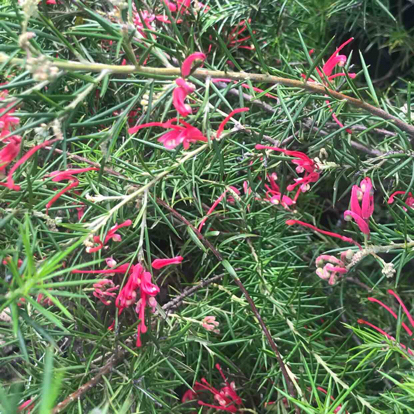 Grevillea alpina, 'Olympic Flame'