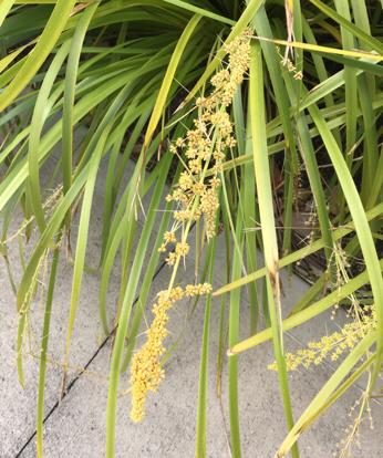 Lomandra longifolia, 'Tanika'
