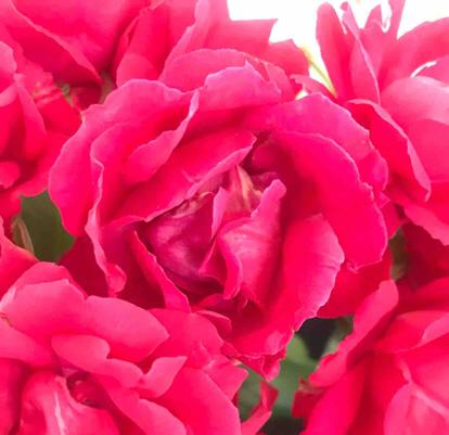 Rose, 'Paul Scarlet', Rosaceae