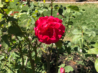 Rose, hybrid tea, Rosa 'Givenchy', Rosaceae